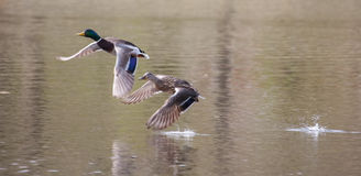 Mallards in flight in soft focus. Male and Female Mallards in flight above lake in soft focus Royalty Free Stock Photography
