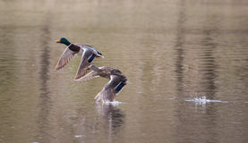 Mallards in flight in soft focus Royalty Free Stock Photos