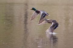 Mallards in flight in soft focus. Male and Female Mallards in flight above lake in soft focus Royalty Free Stock Photos