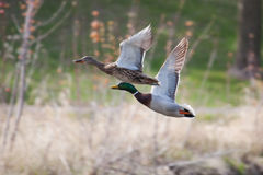 Mallards in flight in soft focus. Male and Female Mallards in flight above lake in soft focus Stock Image