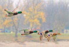 Mallards in flight. Wild ducks flock in flight Stock Image
