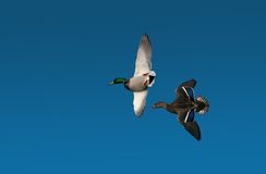 Mallards Fling Royalty Free Stock Image