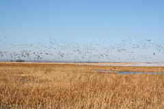 Mallards Fly North. Migrating Mallard Ducks in Early Spring, headed towards Canada. South Dakota Prairie stock images