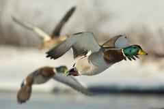 Mallards. Flying Mallard Ducks on a winter day Stock Photos