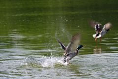 Mallards flying off from a lake. A couple of mallards flying off from a lake in summer day Stock Photo
