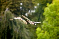 mallards flying over the pond Royalty Free Stock Photo
