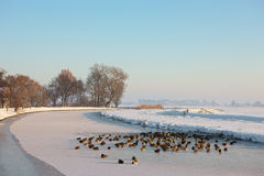 Mallards in a frozen landscape. A sunny winter day in Dutch landscape, with mallards on the ice Stock Photo
