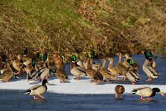 Mallards on the frozen pond, winter. Mallard group on the frozen pond, winter, anas platyrhynchos Stock Images