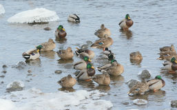 Mallards Gathered In Mississippi River Shallows. Bright winter capture of a group of drake and hen mallards, gathered together in shallows of the Upper Stock Image