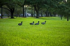 Mallards in Grass Royalty Free Stock Photography