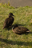 Mallards on green grass on a sunny day. Two mallards on green grass on a sunny day Stock Photography
