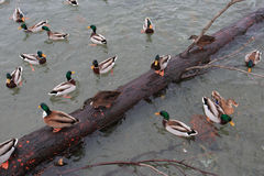 Mallards Royalty Free Stock Images