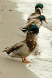 Mallards. Royalty Free Stock Photos