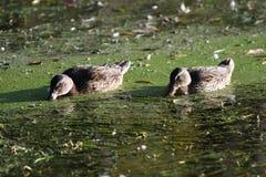 Mallards having breakfast. Two female Mallards, Ducks, having a morning meal Stock Photos