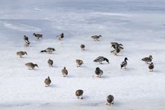 Mallards fighting for food. Mallards on the ice competing for food in winter Stock Image