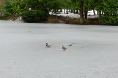 Mallards on the Ice. A pair of mallards are on the ice of the lake water Stock Photos