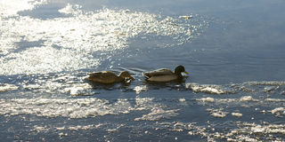 Mallards in Icy River Stock Photography