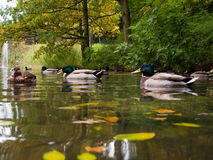 Mallards on lake. Male mallards on lake, wild ducks in autumn Royalty Free Stock Images