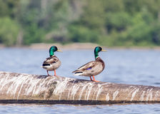 Mallards on Lake Champlain. Two male mallards on a piece of drifted wood in Lake Champlain. This image was taken on a sunny day from my kayak Royalty Free Stock Images