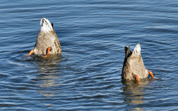 Mallards On Lake. Mallards doing a bottoms up on a lake a summers day fun thing to do Royalty Free Stock Photos