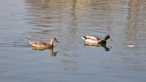 Mallards on lake. Mallards, male and female on a lake in Bucharest (IOR lake/park Royalty Free Stock Image