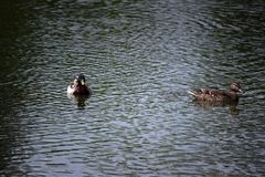 Mallards in Lake. A male and female mallard swimming in a lake Royalty Free Stock Photos