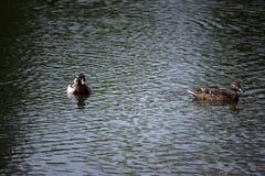Mallards in Lake Royalty Free Stock Photos