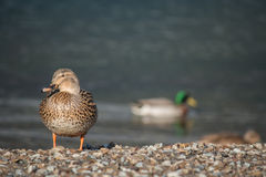 Mallards on lake. Picture of mallards on lake Royalty Free Stock Photos
