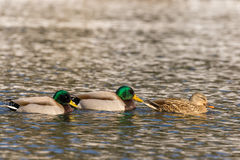 Mallards on Lake. A small flock of mallards swimming on a lake Stock Images