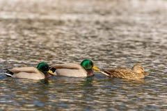 Mallards on Lake Stock Images
