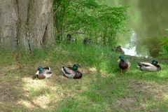 Mallards beside a Lake in Summer Stock Photos
