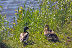 Mallards at lakeside with yellow iris ,Anas platyrhynchos. Two Mallard ducks at lakeside Royalty Free Stock Photos