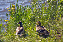 Mallards at lakeside with yellow iris ,Anas platyrhynchos. Two Mallard ducks at lakeside Royalty Free Stock Photo