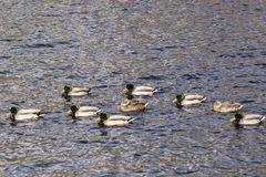 Mallards. Making their way accross Lynx Lake Stock Photography