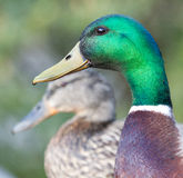 Mallards Stock Image