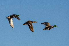 Mallards2Male1Female. Three adult Mallards, one female and two males in flight Royalty Free Stock Image