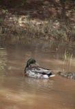 Mallards. Mallard drake swimming in a small dirty pond, followed by a hen Royalty Free Stock Photo