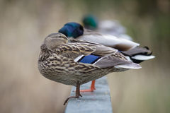 Mallards Stock Photos