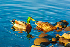 Mallards. Mallard swimming leisurely in the calm water Stock Image
