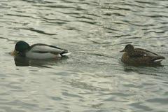 Mallards na wodzie Zdjęcie Royalty Free