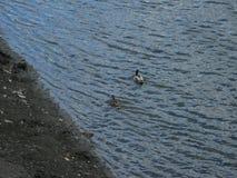 Mallards na wodzie Obraz Stock