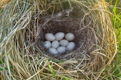 Mallards nest, Clutch of nine white eggs. Mallards nest in dry grass and of soft down. Egg laying occurs in April. Baltic sea. Clutch of nine white eggs Stock Photography