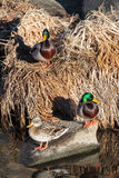 Mallards Nesting in the Grass Along a Stream. Two Mallard Drakes and a Mallard Hen, together in dried grass along the side of a creek Royalty Free Stock Image