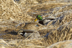 Mallards nestled in grass. A male Mallard is perched on the frost covered brown grass Stock Photos
