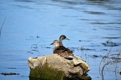Mallards Pair. Mallard pair sits on cozy water-logged tree stump in shallow deep blue lake water Royalty Free Stock Photo