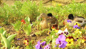 Mallards among pansies. Some mallards have a rest in a public park, among pansies Stock Images