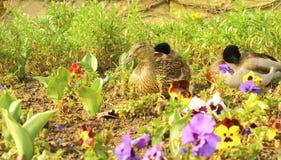 Mallards among pansies Stock Images