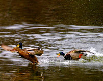 Mallards in the pond Royalty Free Stock Image