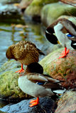 Mallards preening. Duck posing out on the lake Stock Photography