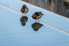 Mallards Reflected on Dam. A Pair of Mallards in early spring reflected in the water on top of a damp Stock Photo